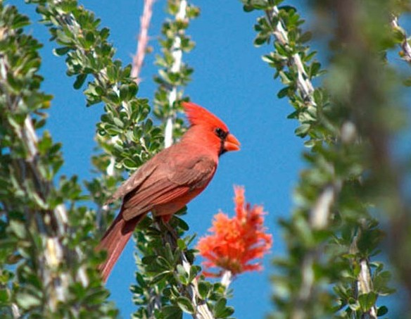 Cardinal in an Ocotillo plant