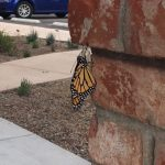 Monarch butterfly adult after emerging