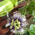 A rare find in our Garden of Earthly Delights--the Passion Fruit blooms.